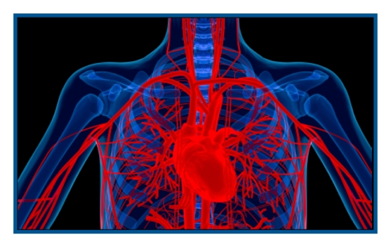 Heart xray veins blue red